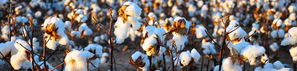 Cotton Harvest by Kimberly Vardeman, on Flickr